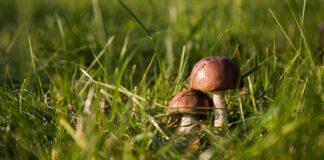 suszarka do grzybów